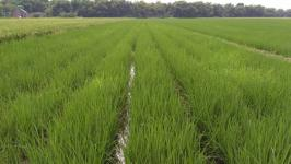 Paddy field treated with Goldtech
