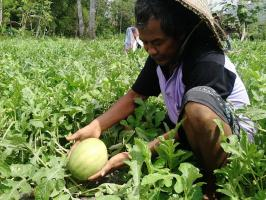 With Goldtech treatment, Watermelons grew well and healthier, with no signs of pest attack or disease